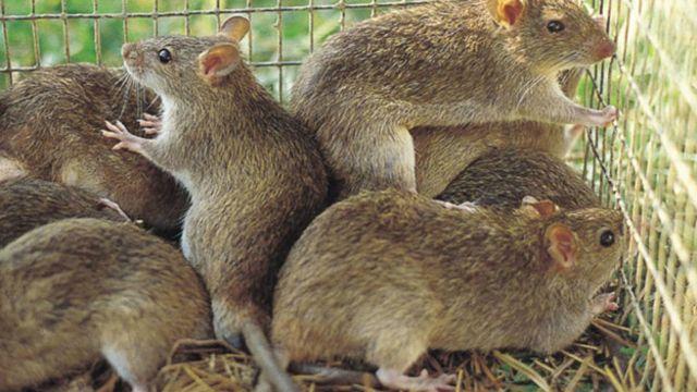Ở những nơi thịt chuột là 'vua' - BBC News Tiếng Việt
