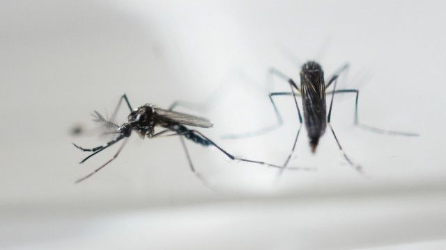 Aedes aegypti, que transmite a zika