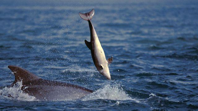 Мертвый детеныш, которого взрослый дельфин подбрасывает в воздух