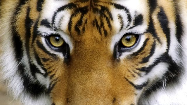 Encontro na Índia quer garantias de que população de tigres duplicará até 2022