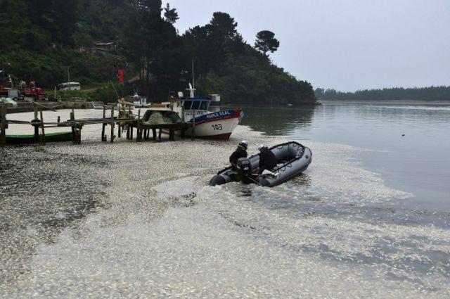 Sardinas en el río Queule, Chile.