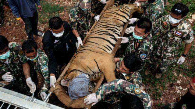 thai_tiger