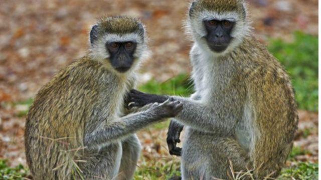Somali Monkey