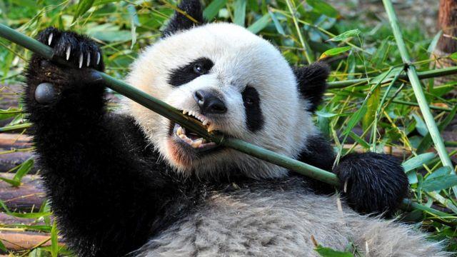 Из-за трудностей, связанных с перевариванием бамбука, у панд строение зубов более сложное, чем у других млекопитающих