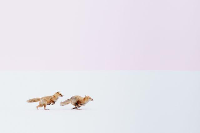 Две лисы бегут по снегу