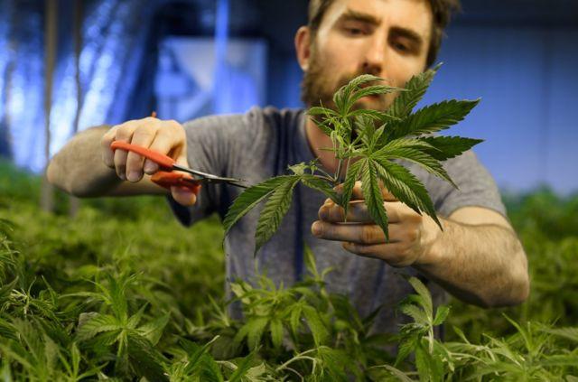 一家CBD研究集团预测,CBD的普及率会大幅上升,因此到2022年,CBD的产值将达到220亿美元(图为合法大麻种植资料照片)。
