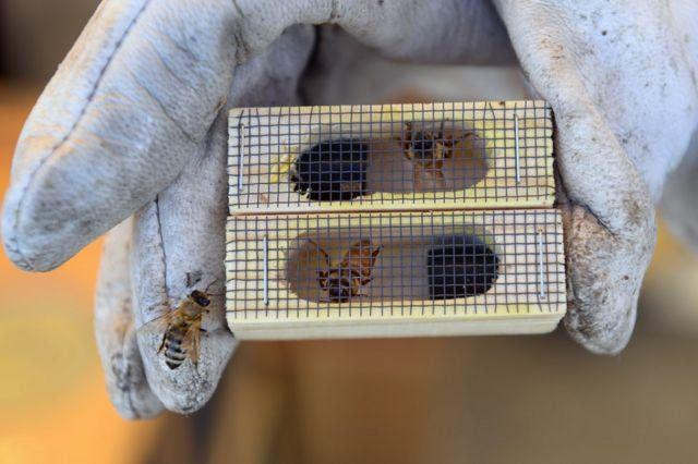 Un apicultor con una jaula que contiene un par de abejas reinas.