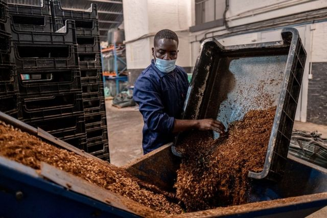 Man pouring bugs on to a conveyor belt