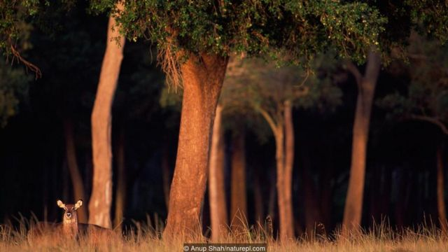 Keniyada xristianlar meşələri iblis qismində görürlər (Mənbə: Anup Shah/naturepl.com)