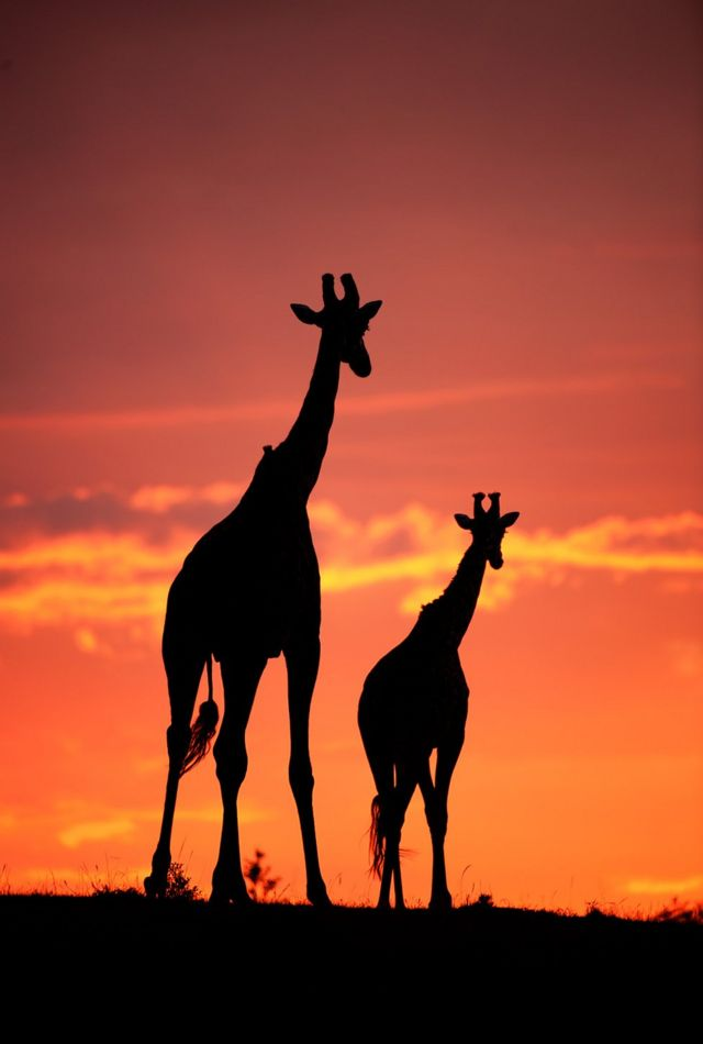 Silhouette photo of giraffes
