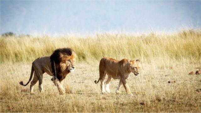 Libaaxyada ku nool kaynta Amboseli
