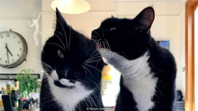 猫咪互相梳毛时经常呜呜叫。