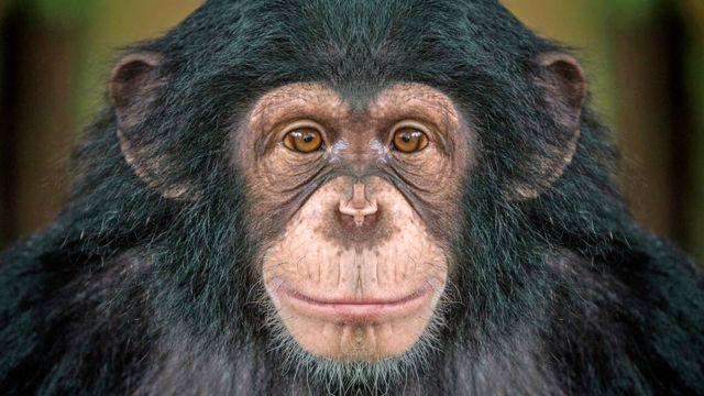 كيف تزيد مشاهدة الأفلام من الألفة بين قردة الشمبانزي؟ - BBC News عربي