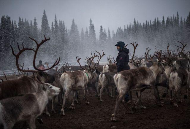 Женщина-оленевод в Швеции
