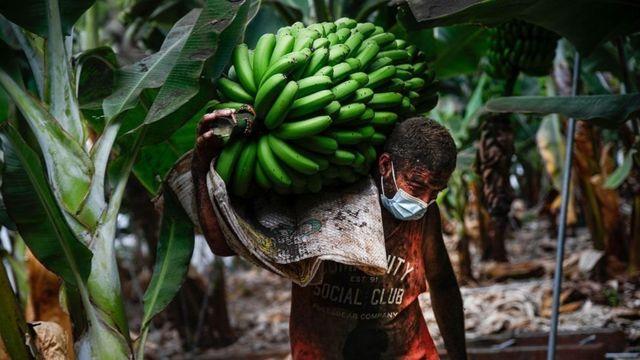 مزارع يحمل ثمار الموز