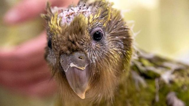Endangered kakapo parrot gets pioneering brain surgery