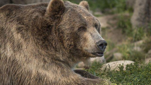 Araştırmayı yürütenler ayının (resimdeki değil) 181 kilo civarında olduğunu düşünüyor