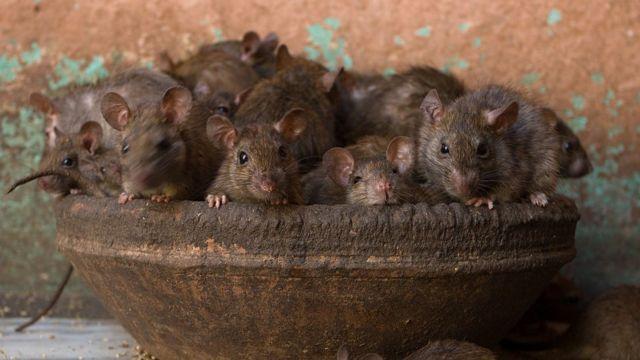 Um cesto com diversos ratos de cor marrom