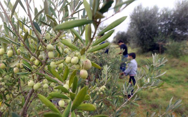 An olive grove in Tarhuna