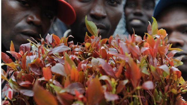 Des centaines de personnes travaillant dans la production et l'exportation du khat au Kenya, sont affectées par cette mesure.