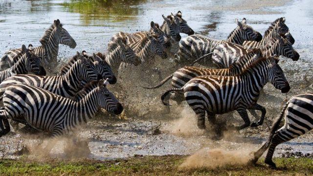Zebra sürüsü çayı keçir