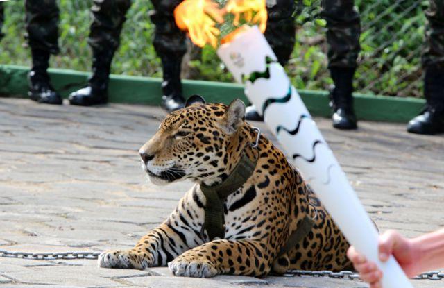 アマゾンのシンボルとして聖火リレー式典に登場させられたジャガー(20日)