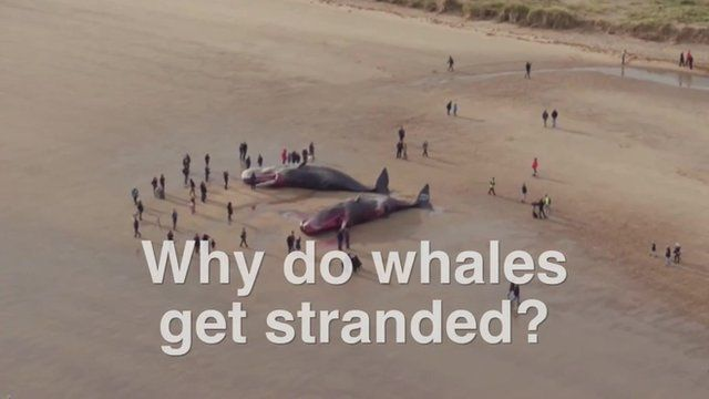 A beach scene of two stranded whales