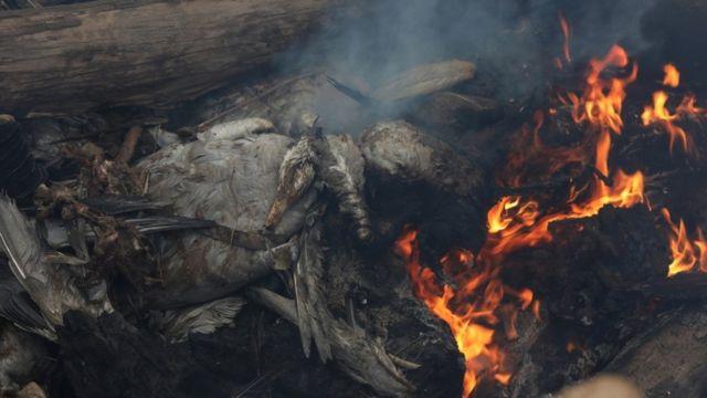 الهند تحرق الطيور المصابة