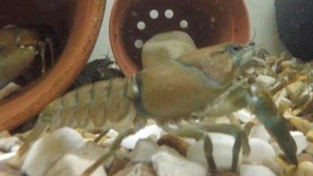 North American crayfish