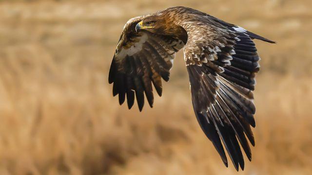 Risaa Afaan Ingiliziin 'steppe eagle' jedhan