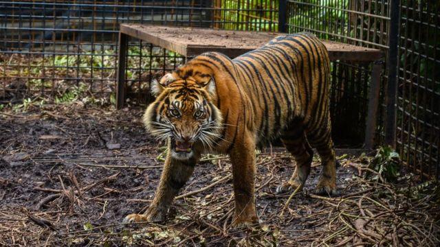 مقتل حارس حديقة حيوانات في إندونيسيا بعد هروب نمور نادرة