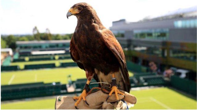 На Уимблдоне ястребы отгоняют от кортов голубей и других птиц, которые могли помешать игрокам
