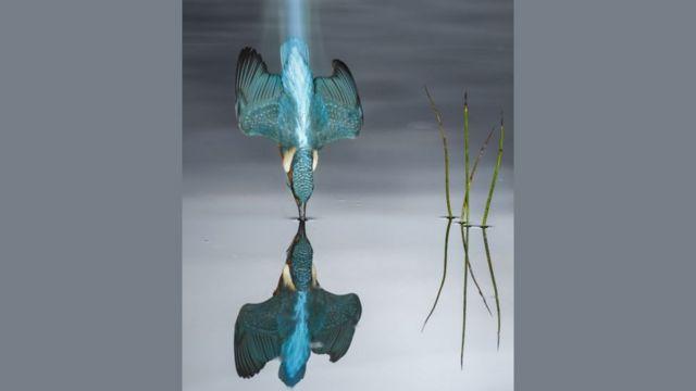 तालाब में गोते लगाता किंगफ़िशर
