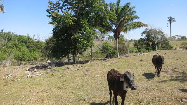Árboles del género inga en un área abierta con ganado