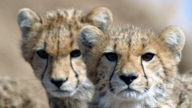 Cheetahs heading towards extinction as population crashes