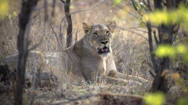 Un lion assis dans les buissons (image d'illustration)