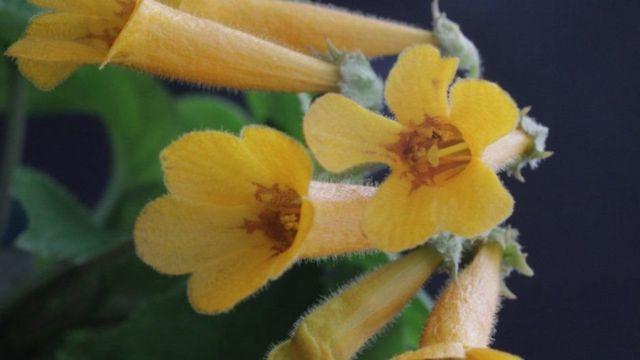 Рослина має яскраві оранжеві квітки