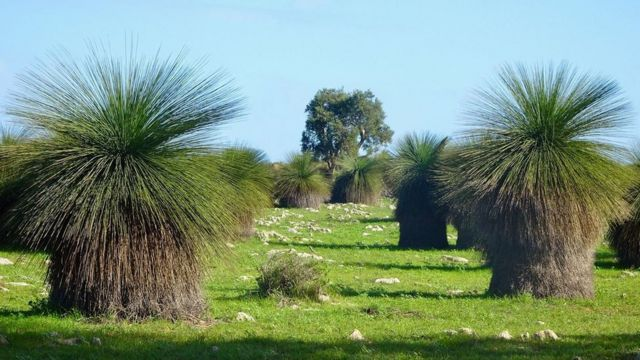 Grass trees sprout