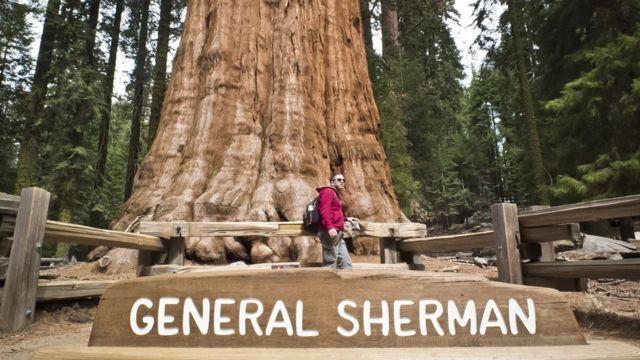 Sekoya Ulusal Parkı'ndaki General Sherman adlı ağaç