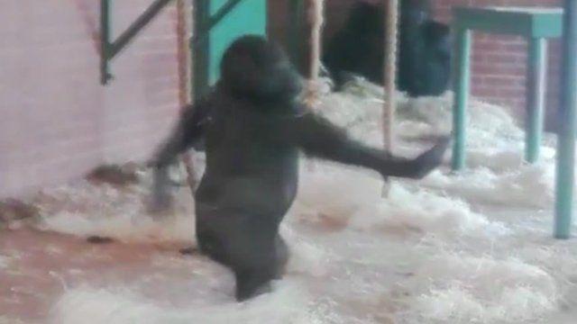 Lope the dancing gorilla