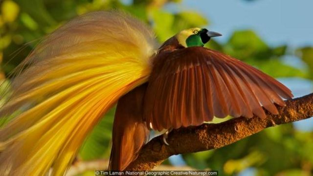 Burung cenderawasih jantan memikat pasangannya dengan gerakan tarian yang rumit.