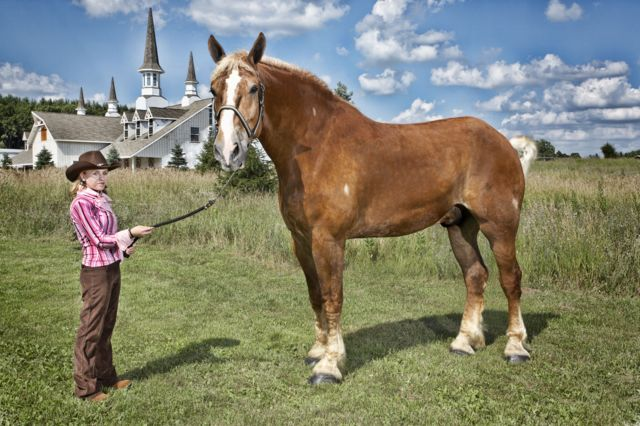 Tallest living horse
