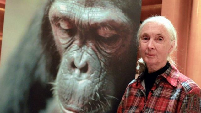 Гудолл на фоне портрета шимпанзе