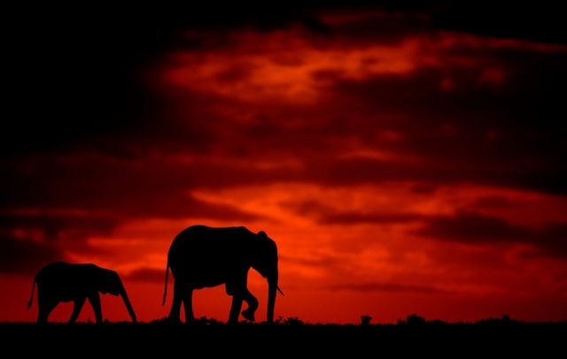 Silhouette photo of elephants