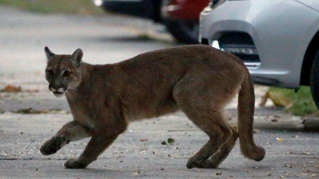 Puma en las calles de Santiago, Chile.