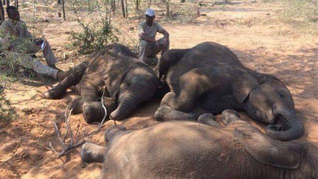 အာဖရိကမှာ အသတ်ခံထားရတဲ့ ဆင်များ