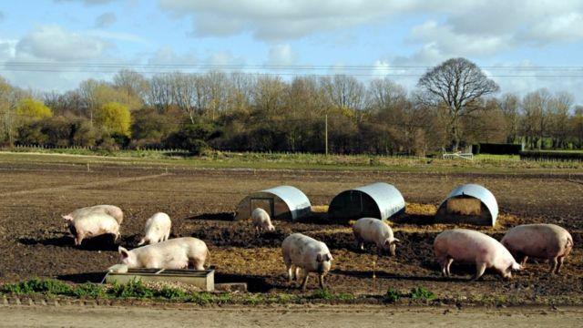 Свиноферма в Линкольншире