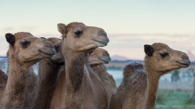 Would you drink camel milk?