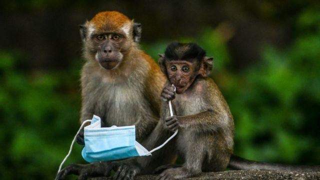 Unos monos en Malasia sostienen una mascarilla.