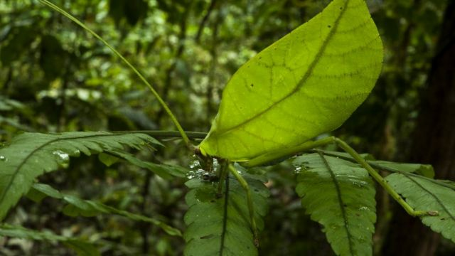 Yarpaq çəyirtkəsi (Cycloptera speculata )